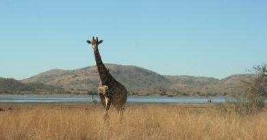 #SA: Unterwegs auf Safari im Pilanesberg National Park