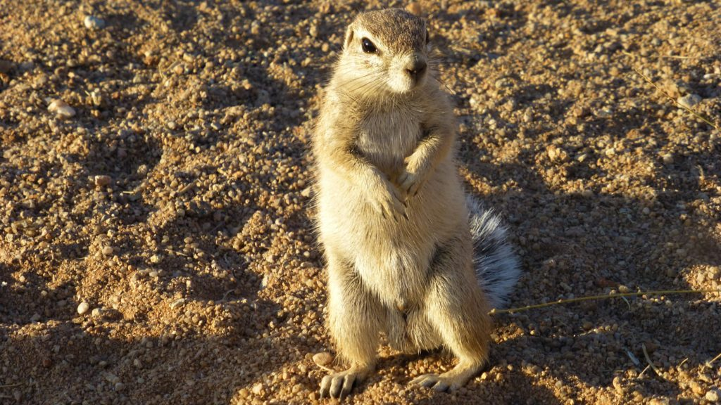 Bissiges Ground Squirrel